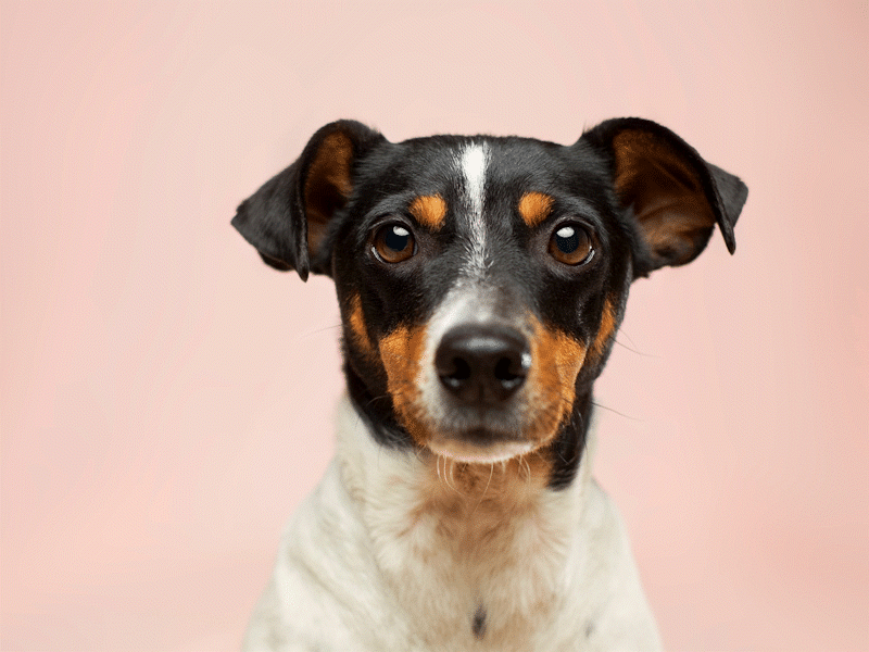 Head and shoulders of Jack Russell dog against pale pink background